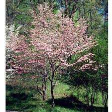 the flowering dogwood tree is a traditional dogwood in an