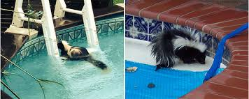 there u0027s a skunk in my pool intheswim pool blog
