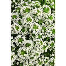 alyssum flowers proven winners white sweet alyssum lobularia live plant
