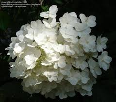 white hydrangeas white hydrangeas flowers from tree hydrangea shrubs