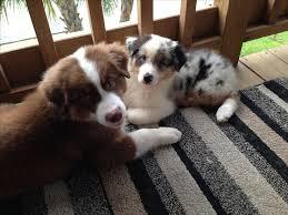australian shepherd puppy cut the 248 best images about pets on pinterest beautiful dogs