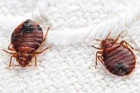 Can Bed Bugs Kill You How To Get Rid Of Bed Bugs Fast Best Ways And Home Remedies