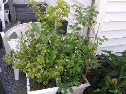 Indoor Fragrant Plants - jb u0027splants roblynfarm cubit jb u0027s fragrant plants tell us about