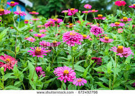 Zinnia Flowers Zinnia Flower Field Stock Photo 76646899 Shutterstock