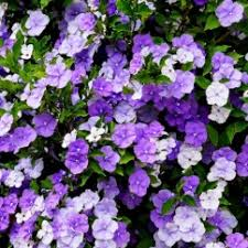 Scented Flowering Shrubs - scented and fragrant plants australian plants online