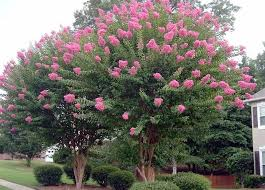 the crape myrtle lagerstroemia indica is one of the most