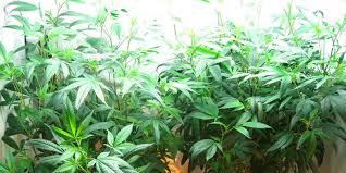 best hps grow lights the best marijuana grow lights