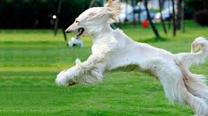 afghan hound weight afghan hound dogs and puppies dog breeds journal