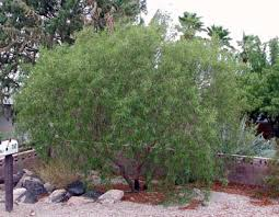 norm s favorite desert trees nevada radio