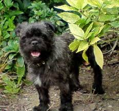 affenpinscher white pugland pug west highland white terrier mix info temperament