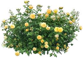 Yellow Flowering Bushes And Shrubs Bush Png Transparent Free Images Png Only
