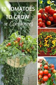 Bag Gardening Vegetables by Best 25 Growing Tomatoes In Containers Ideas On Pinterest