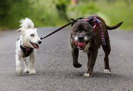 Blind Dog And Friend This Blind Jack Russell Terrier Has A