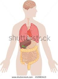 Anatomy Of Stomach And Intestines Stomach Anatomy Stock Images Royalty Free Images U0026 Vectors