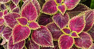 How To Grow Coleus Plants by How To Grow Coleus From Seeds