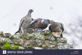 How To Get Rid Of Pigeons Off My Roof by Pigeons Mating Stock Photos U0026 Pigeons Mating Stock Images Alamy