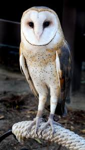 Barn Owl Holidays Scvnews Com Opinion Commentary Barn Owl Beautifully Adapted