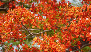 bangalore flowering trees in parks karnataka