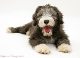 bearded collie adoption dog bearded collie pup photo wp17149