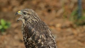 central florida adventures audubon center for birds of prey youtube