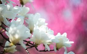 Magnolia Wallpaper Flowers Magnolia Bloom Flowers White Spring Tree Nature Full Hd