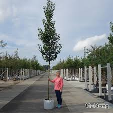 pyrus calleryana chanticleer ornamental callery pear trees
