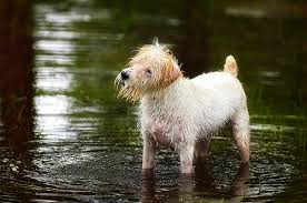 haircut ideas for long hair jack russell dogs rough smooth or broken jack russell terriers flickr