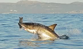 great white shark scares boat passenger near plymouth long beach