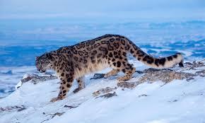 wwf adopt a snow leopard