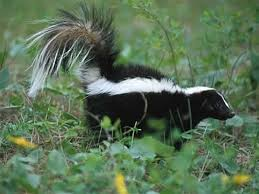 South Carolina wild animals images Skunk muskrat and miscellaneous animal removal georgia jpg