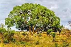 Seeking Mpumalanga Herd Of Impalas Seeking Shade A Large Tree In The Savanna