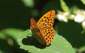 growing more butterflies in south east queensland gecko hills to news milton keynes natural history society