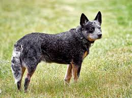 australian shepherd blue heeler australian cattle dog youtube