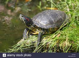 ornamental tortoise chrysemys scripta stock photo royalty free