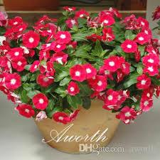 vinca flower 2018 madagascar periwinkle vinca flower real seeds easy