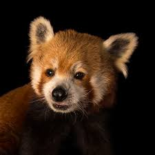 red panda national geographic