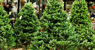 balsam tree types of christmas trees explained douglas fir balsam fir