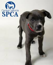 3 month boxer dog asia is a 3 4 month old grey and white female pitbull terrier