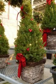 o living christmas tree u201d important tips for your live christmas