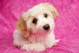 bichon frise x jack russell sleepy bichon frise cross puppies laid on a pink mottled