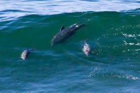 dolphins san francisco citizen
