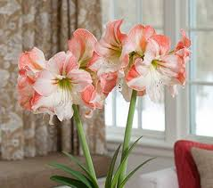 Amaryllis Flowers Bareroot Unpotted Amaryllis Bulbs White Flower Farm
