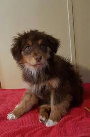 australian shepherd uglies sprout at petsmart sprout of my pom pals pinterest sprouts