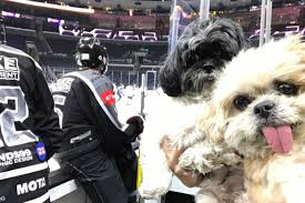 affenpinscher good bad very good dog marnie went to the kings game and had a great time