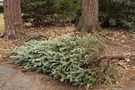 Christmas Tree Pick Up Fairfield Begins Christmas Tree Pickup Fairfield Daily Voice