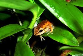 hawaii u0027s big island is overrun with loud frogs from puerto rico