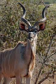 shofar horns file greater kudu horns jpg wikimedia commons