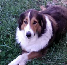 australian shepherd illinois two litters in southern illinois old time scotch collie association
