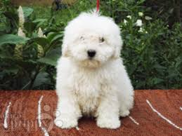 bichon frise for sale philippines puli puppies for sale euro puppy