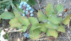 native utah plants mahonia repens wikipedia